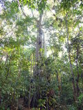 Ficus tree in rain forest Royalty Free Stock Images