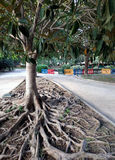 Ficus Tree roots Royalty Free Stock Photo