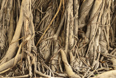 Ficus Tree Roots in Cambodia Royalty Free Stock Image