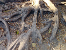 Ficus tree roots Royalty Free Stock Image