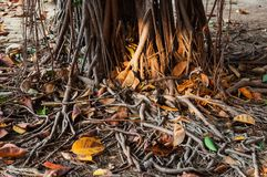 Ficus Tree Roots in park. Roots of ficus tree in park, Spain royalty free stock photo