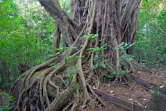Ficus Tree roots in rainforest the jungle, Costa Rica. A source for many medicinal plants used in medicine and drug development royalty free stock photo