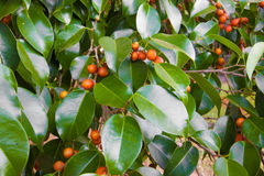 Ficus Tree Seeds Royalty Free Stock Images