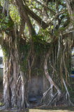 Ficus Tree in Sierpe Royalty Free Stock Photos