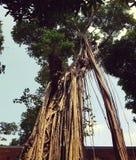 Ficus tree at Temple of Literature in Hanoi Stock Photo