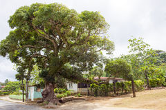 Ficus Tree in Tropes. Big ficus tree on a little island of Tonga stock photography