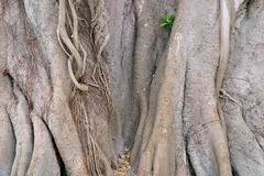 Ficus Tree Trunk. The trunk of an old Ficus tree Stock Image