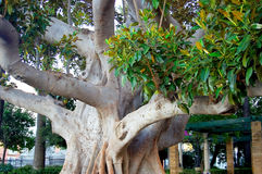 Ficus tree. Trunk with branches and leaves in Cadiz capital, Andalusia. Spain. Europe royalty free stock photos