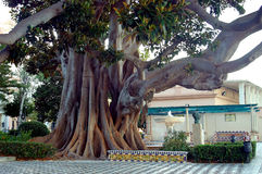 Ficus tree. Trunk with branches and leaves in Cadiz capital, Andalusia. Spain. Europe stock photos