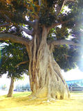 Ficus tree trunk with branches and leaves in Cadiz capital, Andalusia. Spain Stock Images