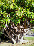 Ficus tree trunk with branches and leaves in Cadiz capital, Andalusia. Spain Royalty Free Stock Photo