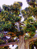 Ficus tree trunk with branches and leaves in Cadiz capital, Andalusia. Spain Royalty Free Stock Images