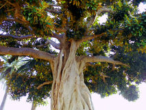 Ficus tree trunk with branches and leaves in Cadiz capital, Andalusia. Spain Royalty Free Stock Photos
