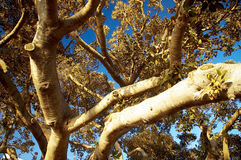 Ficus tree trunk Royalty Free Stock Photo