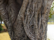 Ficus Tree trunk closeup Royalty Free Stock Images