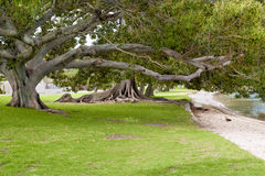 Ficus Trees in Australia Royalty Free Stock Photos