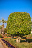 Ficus benjamina (weeping fig or ficus tree). Ficus trees growing in a public place Royalty Free Stock Photography