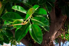 Ficus. Tropical plant with dense, bright green leaves Stock Images
