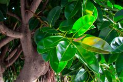Ficus. Tropical plant with dense, bright green leaves Royalty Free Stock Photography