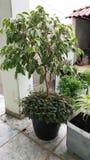 Ficus variegada Stockbild