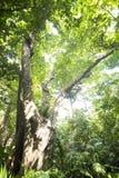 Ficus variegata tree Stock Images