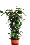 Ficus verde Immagini Stock