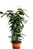 Ficus vert Images stock
