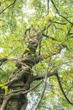 Ficus virens Stock Photos