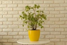 Ficus w żółtym garnku na białym ściany z cegieł tle obraz royalty free