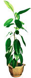 Ficus With Green Leaves Royalty Free Stock Photography