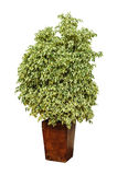 Ficusanlage in einem Topf Stockbild