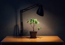 Ficusanlage in einem Topf ist auf dem Tisch unter dem Licht der Lampe in der Dunkelheit, die Blätter fallen Lizenzfreie Stockfotografie