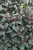 Ficusanlagen Lizenzfreie Stockfotos