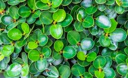 Ficusannulata Blume Stockbilder