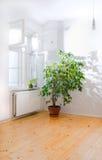 Ficusbaum im leeren Raum Lizenzfreies Stockfoto