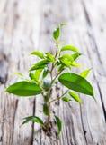 Ficusbenjamina Royalty-vrije Stock Foto