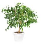Ficusbenjamina op witte achtergrond wordt geïsoleerd die Stock Foto