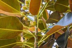 Ficusblätter ist alter Moreton-Bucht-Feigen-Ficus buchstäblich mit Beverly Hills im Laufe der Jahre gewachsen stockfoto