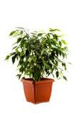 Ficusboom in een bruine die pot op wit wordt geïsoleerd Stock Foto