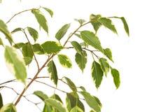Ficusboom op witte achtergrond wordt ge?soleerd die royalty-vrije stock foto
