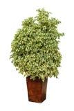 Ficusinstallatie in een pot Stock Afbeelding