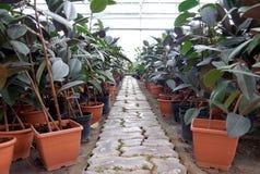 Ficusinstallatie in potten in een serre Stock Fotografie