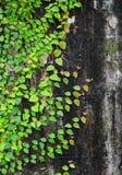 Ficuspumila die op oude muur beklimmen stock foto