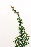 Ficuspumila op muur Stock Fotografie