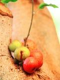 Ficussen carica klaar te eten (Thais rijp Fig.) Royalty-vrije Stock Foto