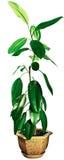 Ficussen met groene bladeren Royalty-vrije Stock Fotografie