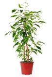 Ficussen in pot. Royalty-vrije Stock Fotografie
