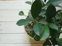 Ficuszimmerpflanzeemporheben und -freude Stockfoto