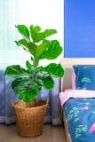 Fiddle bladvijgeboom in de slaapkamer royalty-vrije stock afbeeldingen
