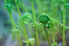 Fiddle-dee-dee Spring Fiddlehead Fern in Alaska royalty free stock photo